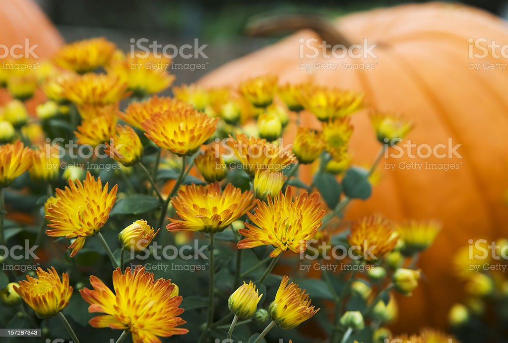 Mums and pumpkins - I stock photo