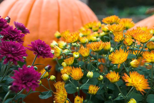 mums and pumpkins - ii - chrysant stockfoto's en -beelden