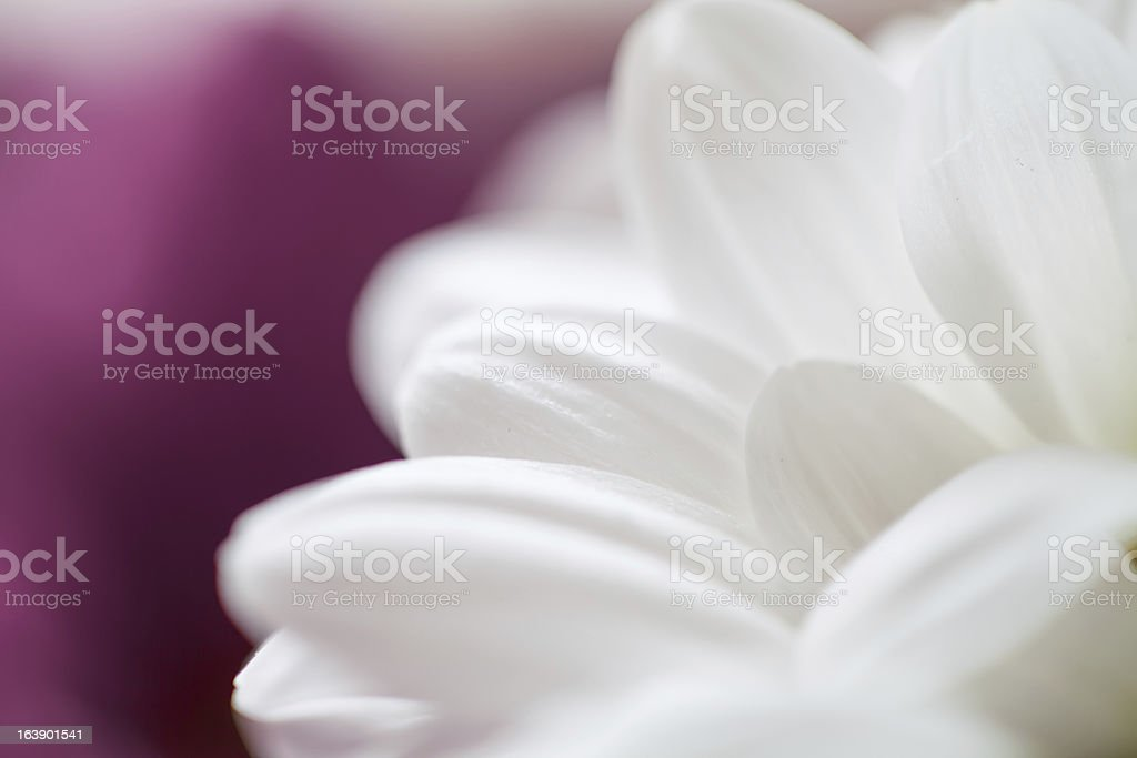 Mums flowers colorful macro background royalty-free stock photo