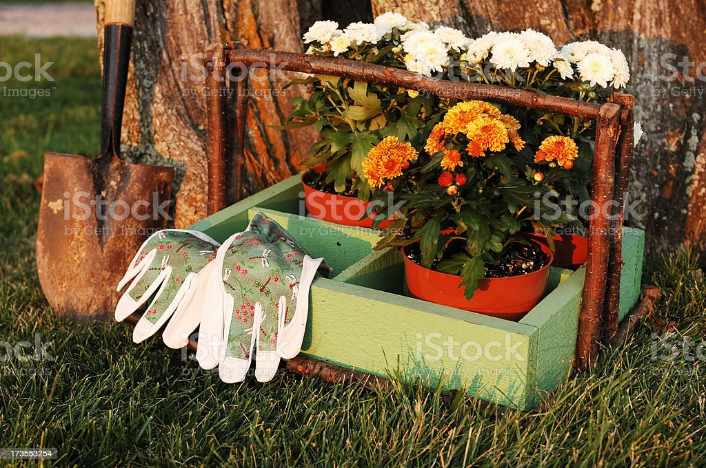 Mums to Plant royalty-free stock photo