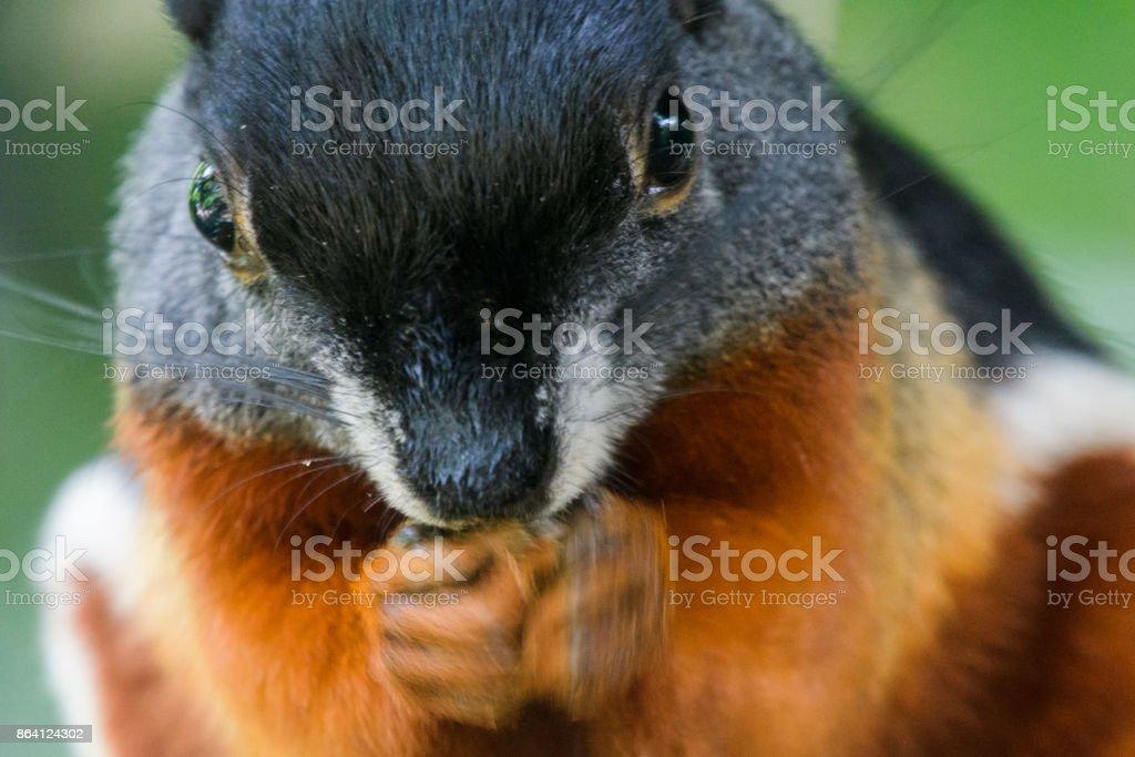 Munching Squirrel royalty-free stock photo