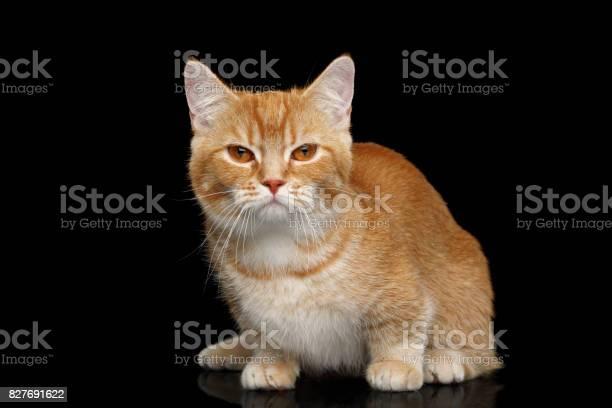 Munchkin cat on black background picture id827691622?b=1&k=6&m=827691622&s=612x612&h=nqfwxuqq nprstojm9howyqc sx7zl6 rcx0onl gis=