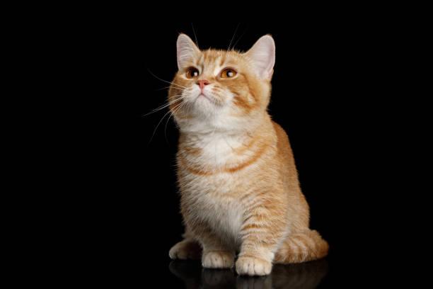 Munchkin cat on black background picture id827692638?b=1&k=6&m=827692638&s=612x612&w=0&h=rbtwfjjp pnr7pduvnpc6jphoomnz2pw7nlf6nxzzuy=