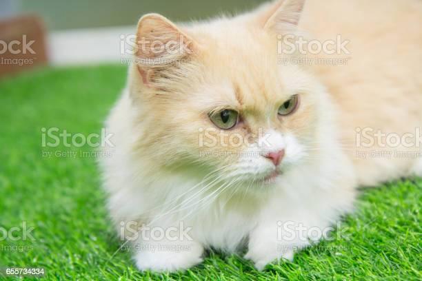 Munchkin cat picture id655734334?b=1&k=6&m=655734334&s=612x612&h=bvy65de2soyk5n9nj cd5rjzw29p8o52lz9xvudx20e=