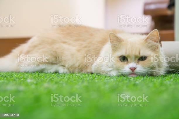 Munchkin cat picture id655734710?b=1&k=6&m=655734710&s=612x612&h=tsy5io61ajn1aea7pgynsz moa4g3hqisof 0usiv0y=