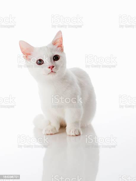 Munchkin kitten picture id184098701?b=1&k=6&m=184098701&s=612x612&h=ottnxadysp4azs2bnk bmyxnpxr3yabglhfyyaz5gka=