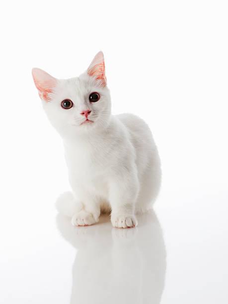 Munchkin kitten picture id184098701?b=1&k=6&m=184098701&s=612x612&w=0&h= rgjo1oq36lvxbmogb6reeo3bcpqr0hpgw6tzwbiovs=