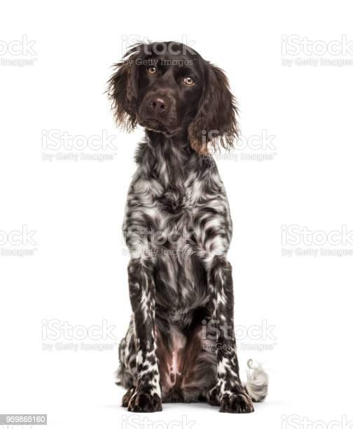 Munsterlander dog 9 months old sitting against white background picture id959865160?b=1&k=6&m=959865160&s=612x612&h=de0 fwfedkgycv15uf9ssyalxz4ou0nyt6rgi7dchv0=
