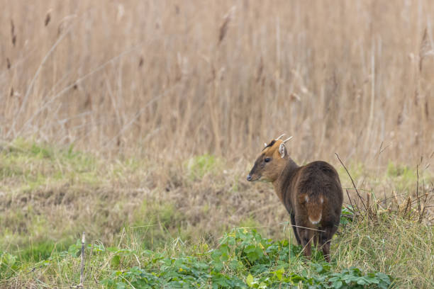 Muntjac deer standing near a reedbed in Norfolk stock photo