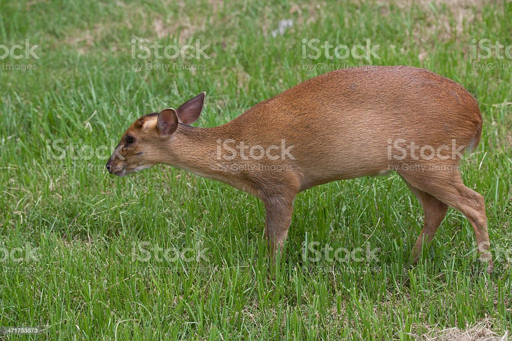 Muntjac deer walking on a field royalty-free stock photo