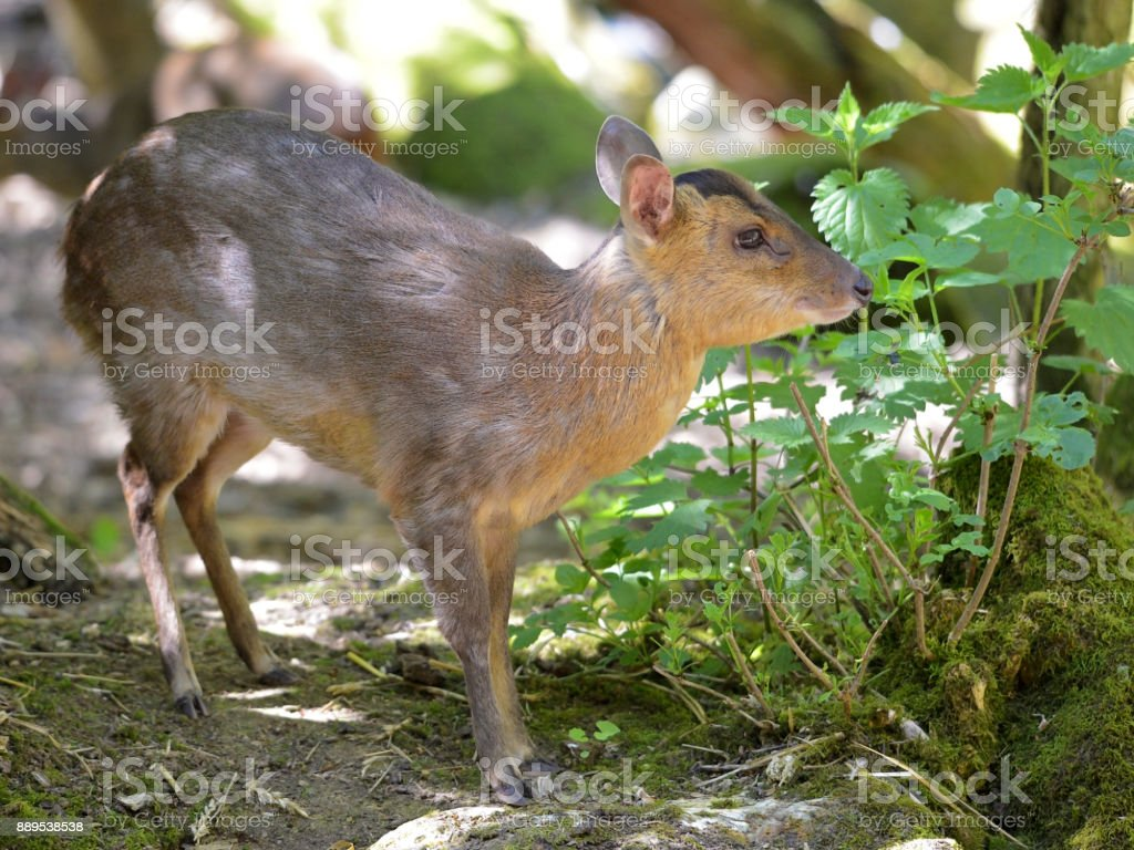 Muntjac of Reeves stock photo