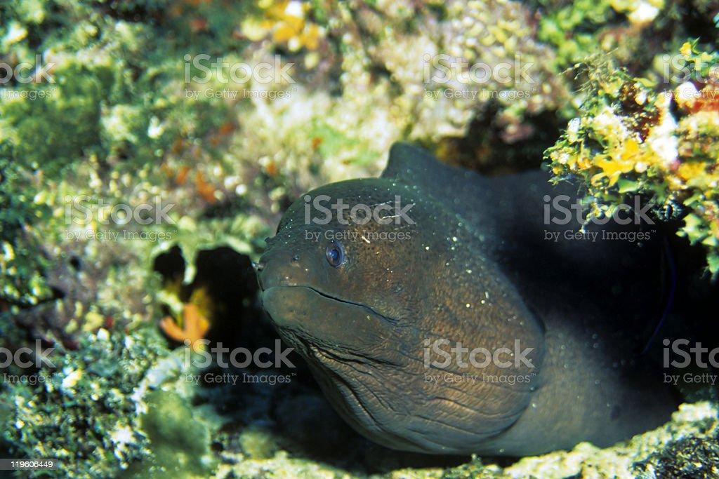 Muray Eel stock photo