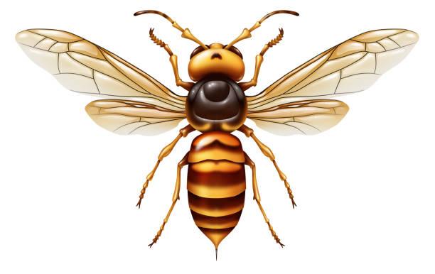 murder hornet - murder hornet стоковые фото и изображения