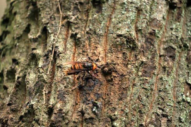 murder hornets - murder hornet стоковые фото и изображения