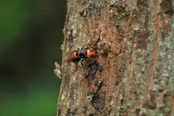 убийство хорнетс - murder hornet стоковые фото и изображения