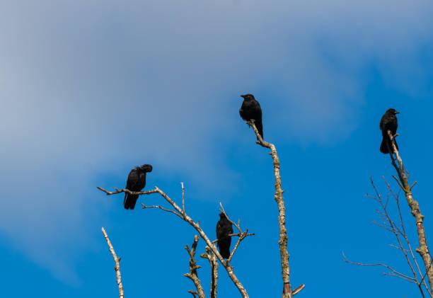 moord op kraaien verzamelen op dode boomtakken - aas eten stockfoto's en -beelden