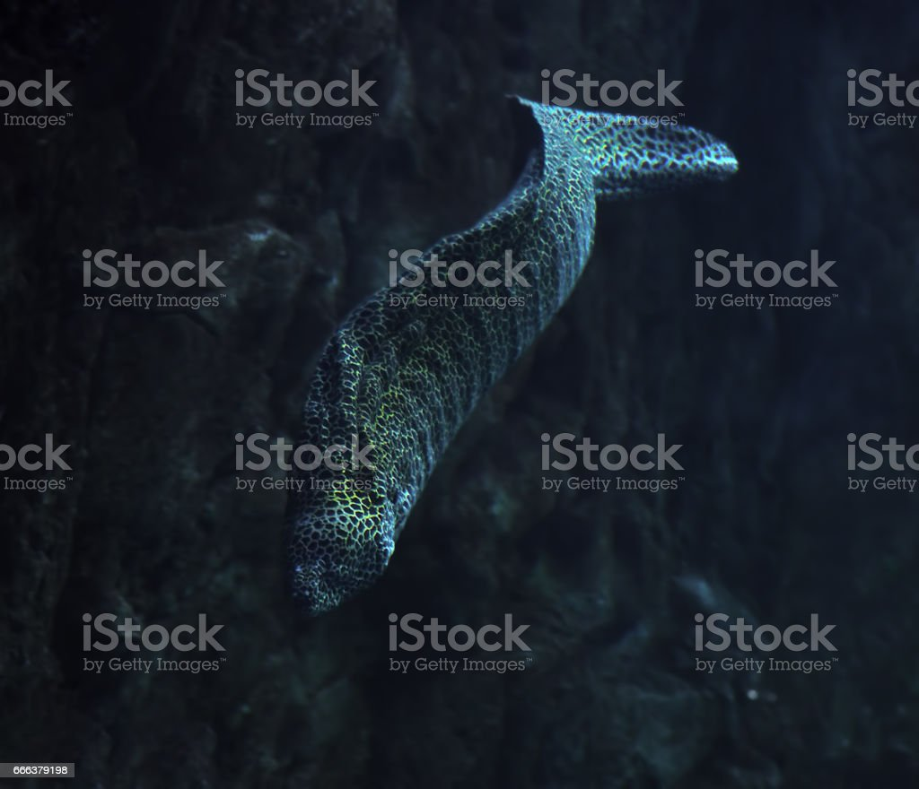Serpent de Murena repéré dans l'océan profond près de la roche - Photo