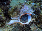The amazing and mysterious underwater world of Indonesia, North Sulawesi, Manado, murex