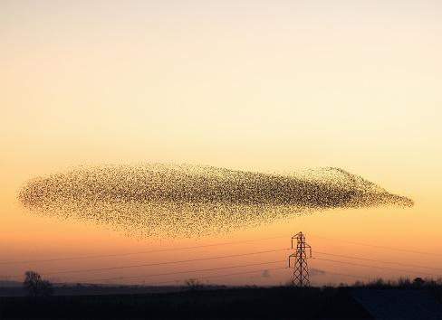 Murmuration Von Starlings In Der Dämmerung Stockfoto und mehr Bilder von 2015