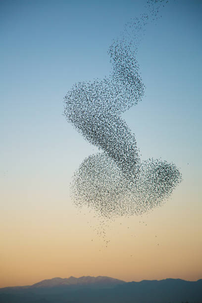 Murmuration of starlings over Pyrenees mountains Strange formations made by large group of starlings flock of birds stock pictures, royalty-free photos & images