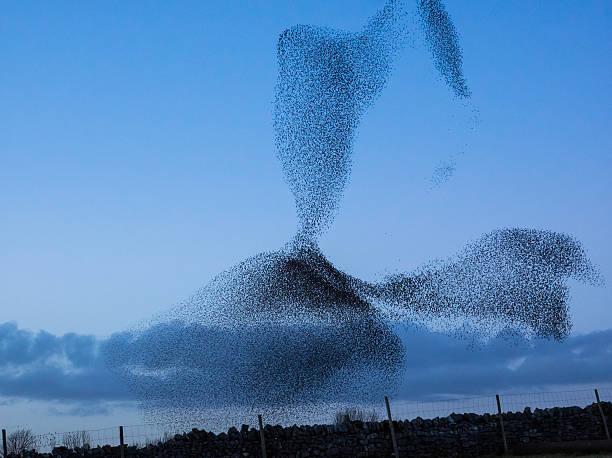 Murmuration of starlings picture id482492921?b=1&k=6&m=482492921&s=612x612&w=0&h=1d zwnqdj7ekmuzhmld333gs i7aksig6fuazdvtgmk=