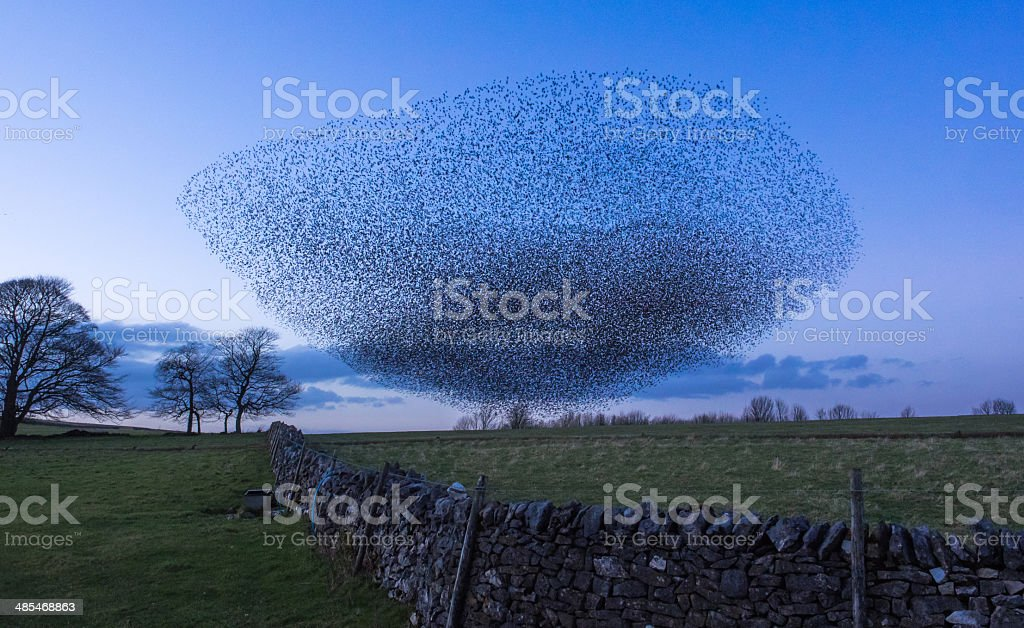 Murmuration of starlings stock photo