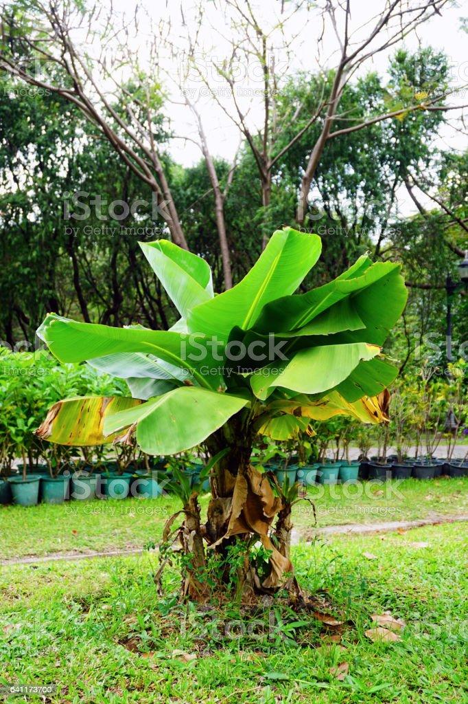 Musa , Hom super dwarf , Musaceae , Banana tree stock photo