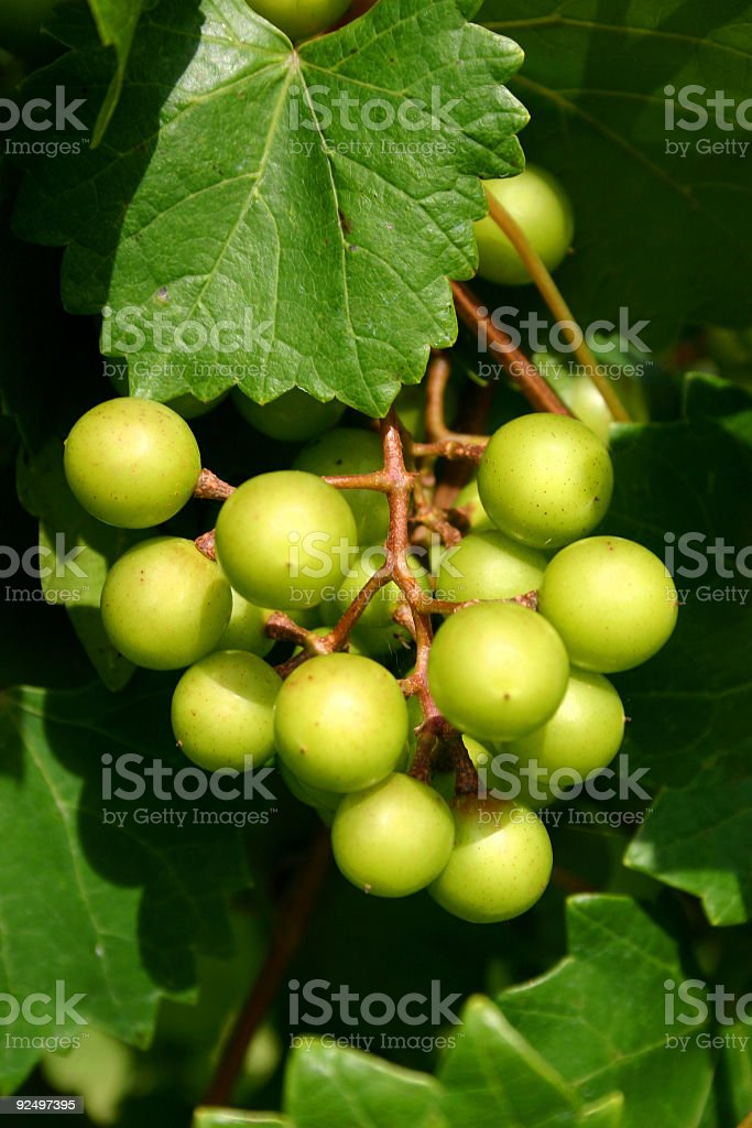 Muscadine Grapes royalty-free stock photo