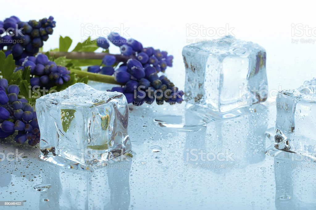 Muscari and ice cubes royalty-free stock photo