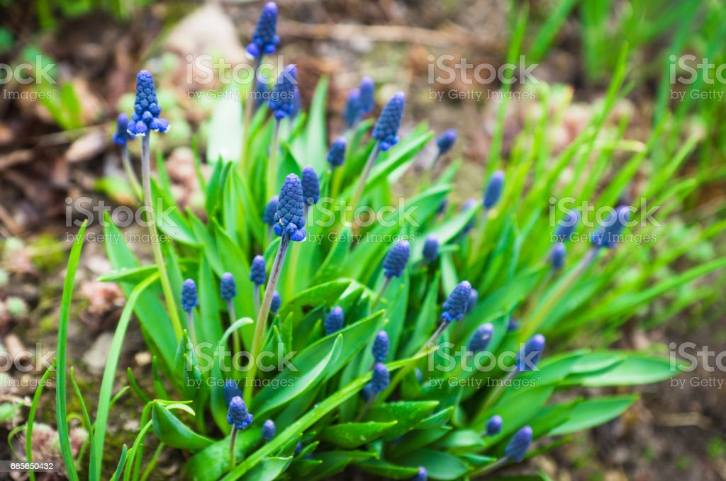 Muscari armeniacum (Blue Grape Hyacinth) blooming in the garden 免版稅 stock photo