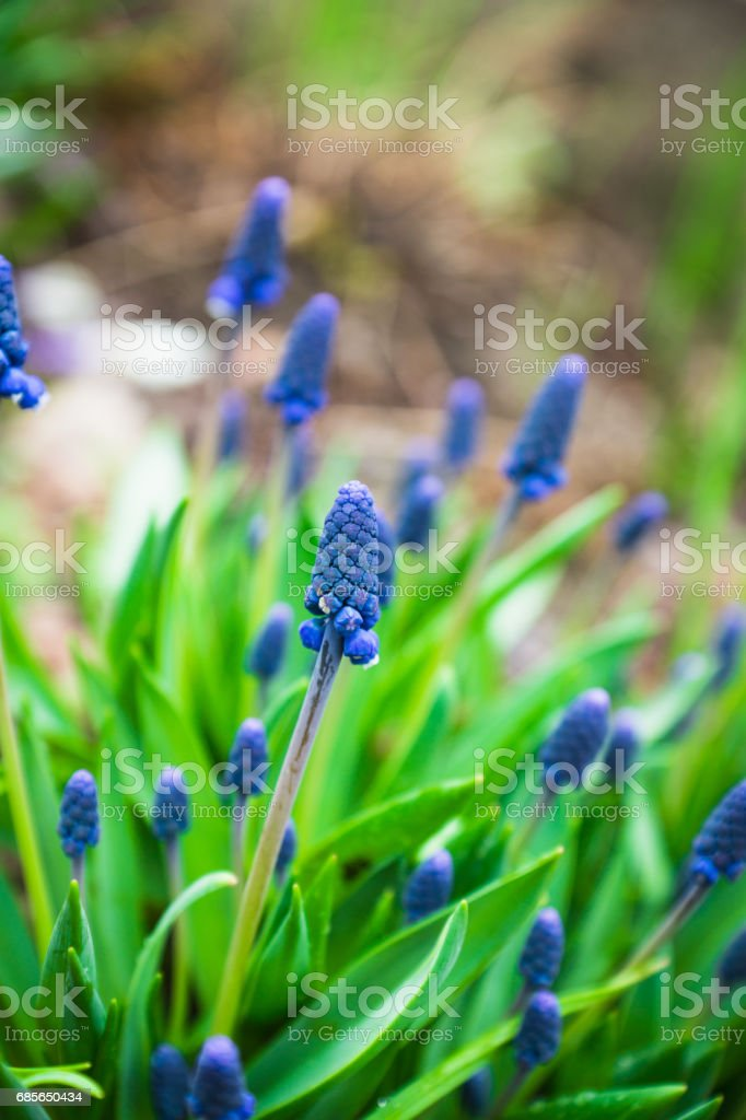Muscari armeniacum (Blue Grape Hyacinth) blooming in the garden royalty-free 스톡 사진