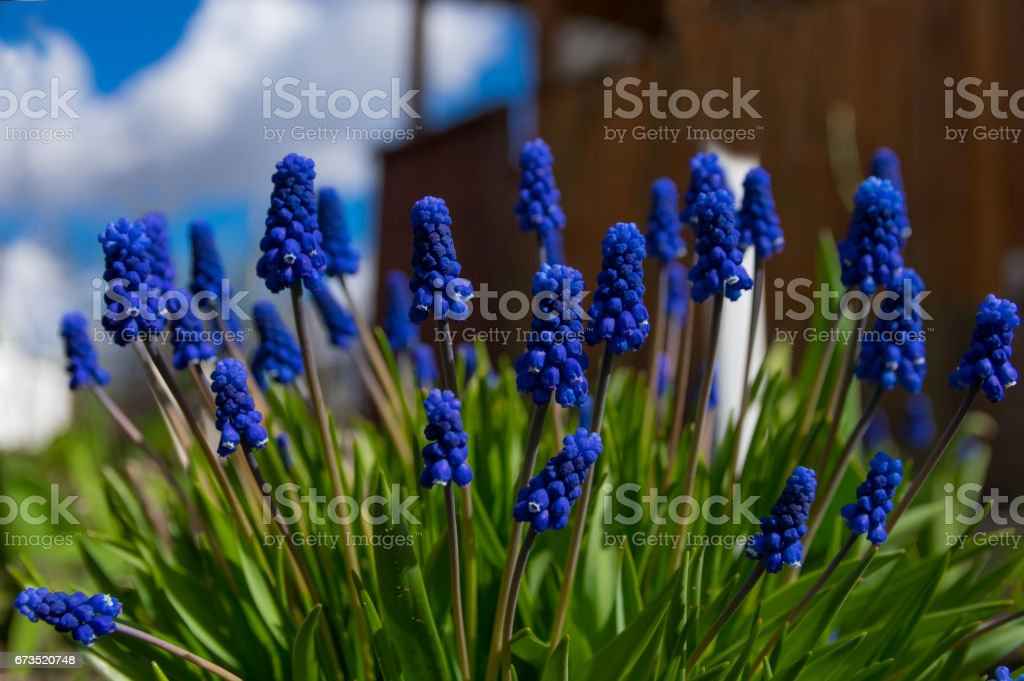 Muscari close-up, blue, purple flowers. Perennial bulbous plants. Flowers of spring. stock photo