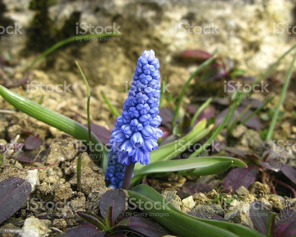 Muscari flower stock photo