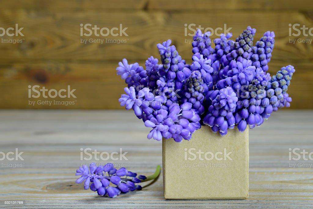 Muscari flowers arranged in gift box stock photo