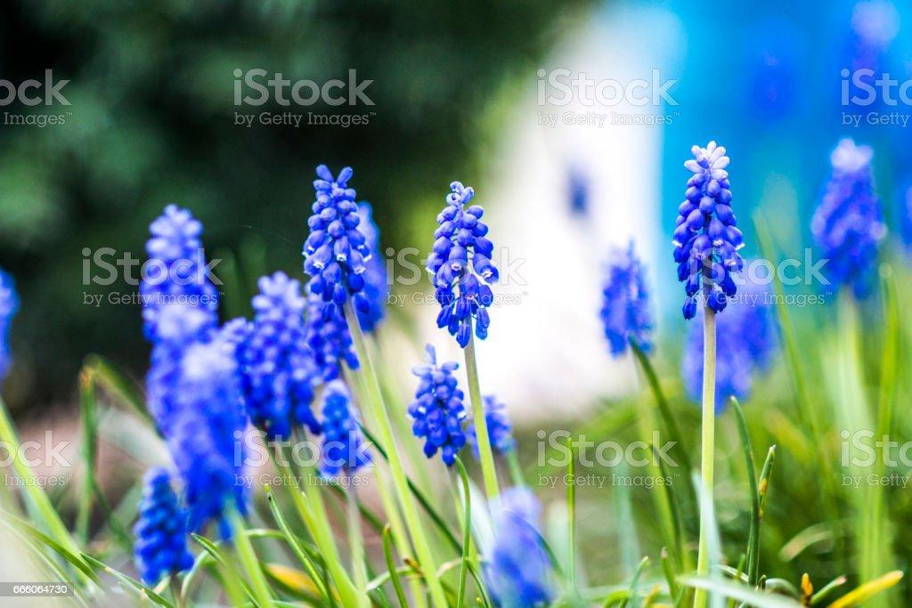 Muscari flowers in garden stock photo