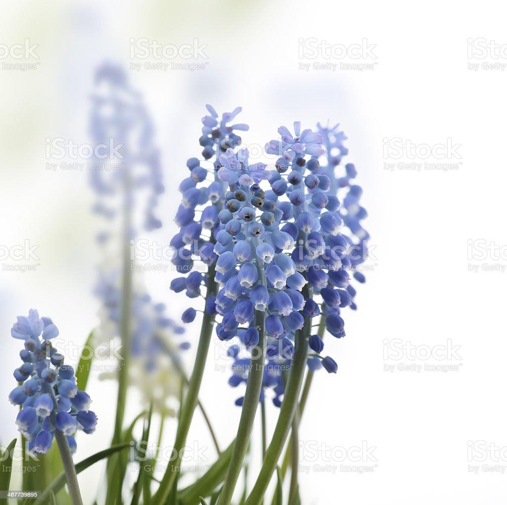 Muscari Flowers stock photo