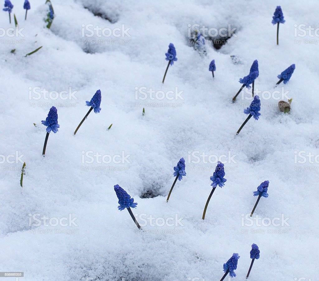 Muscari  under the snow royalty-free stock photo