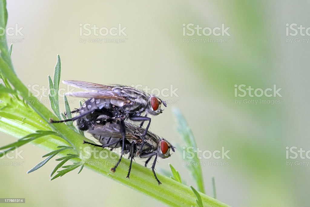 muscidae insect stock photo