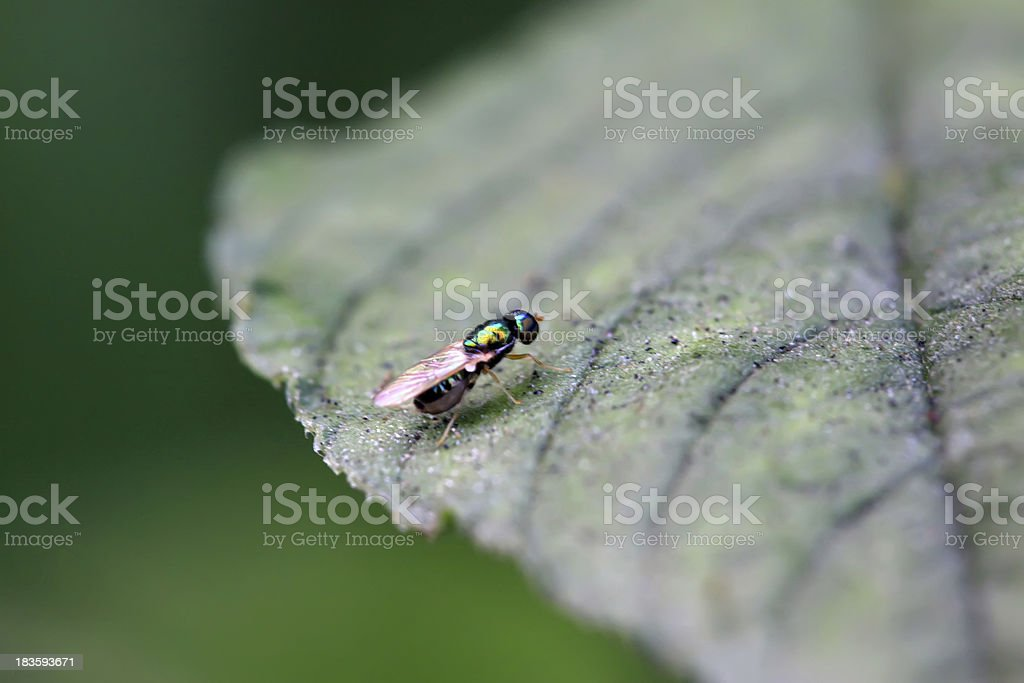 muscidae insects royalty-free stock photo