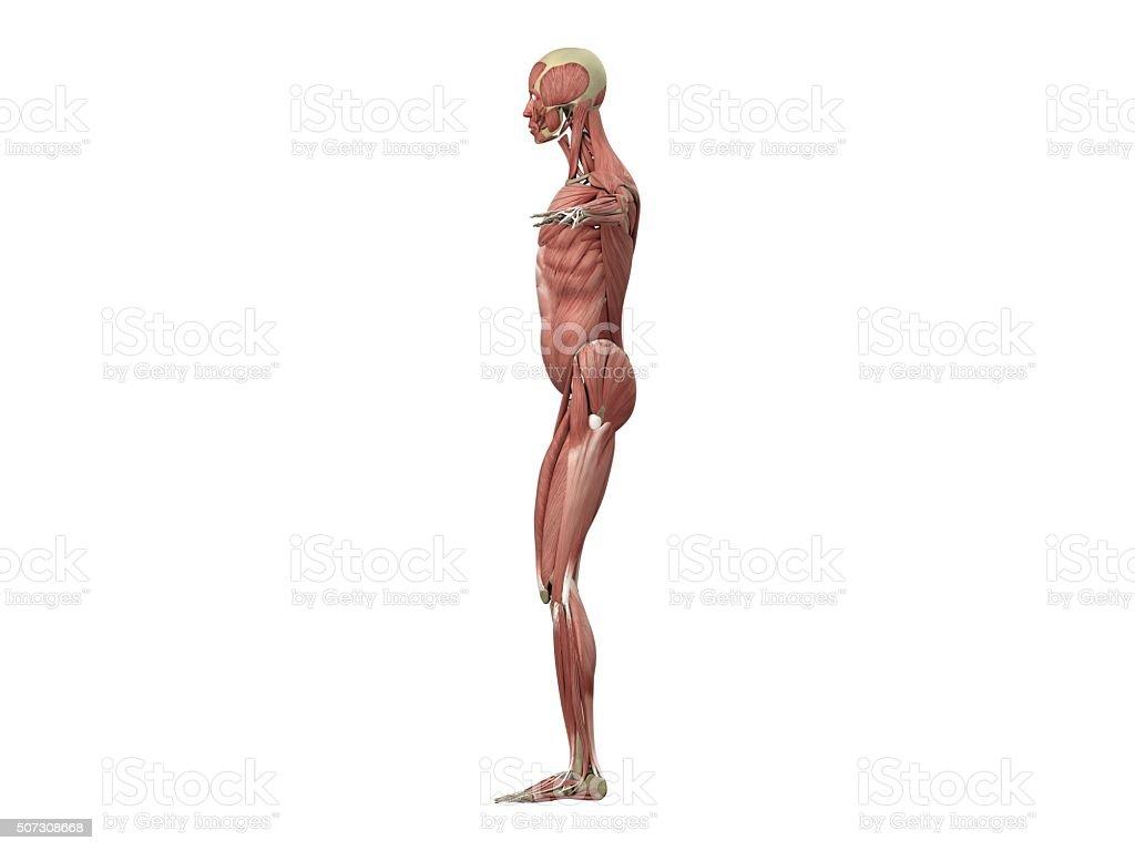 Muskeln Und Skelett - Stockfoto   iStock
