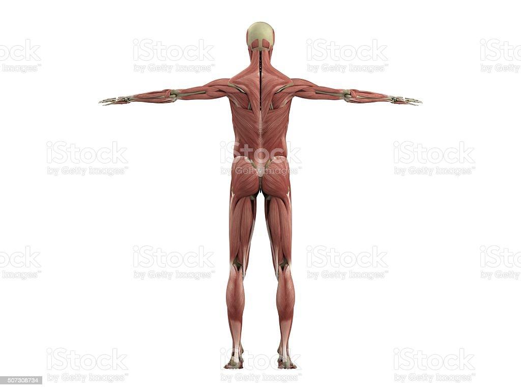 Muskeln Und Skelett Stock-Fotografie und mehr Bilder von Anatomie ...