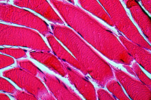 muscle cells at 1000times  magnification (HE-stained) stock photo