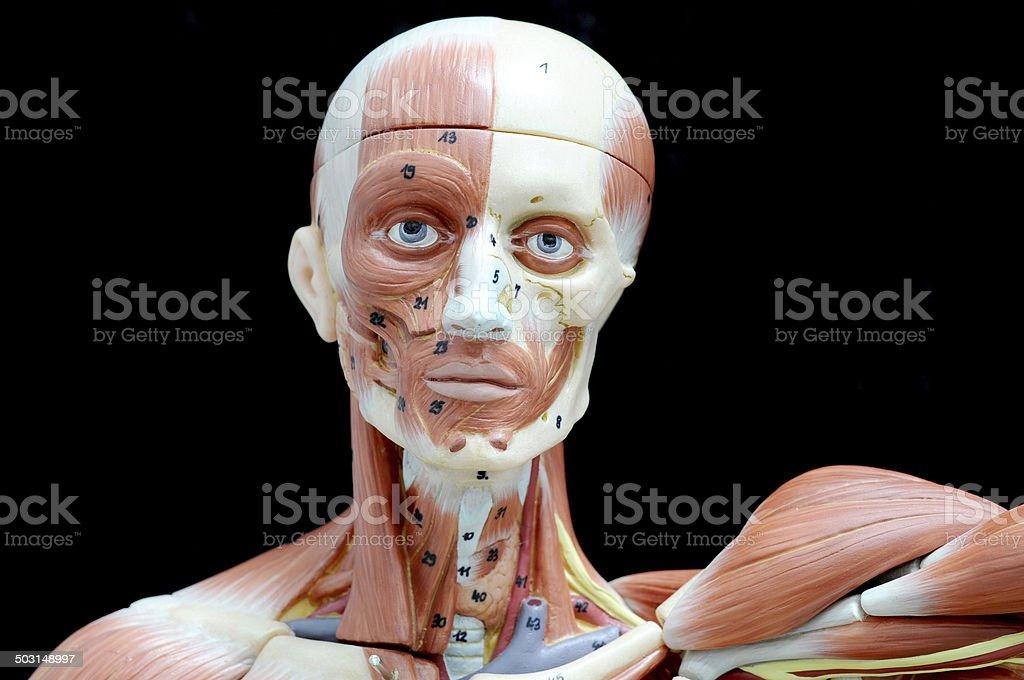 Músculo De Cara Humana Stock Foto e Imagen de Stock 503148997 | iStock