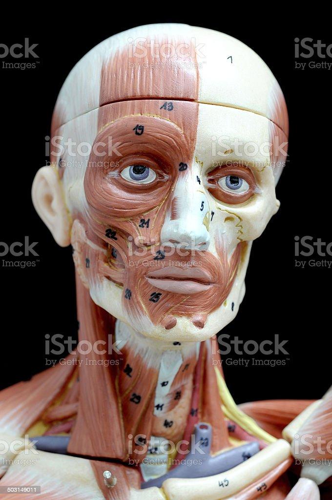 Fotografía de Músculo De Cara Humana y más banco de imágenes de ...