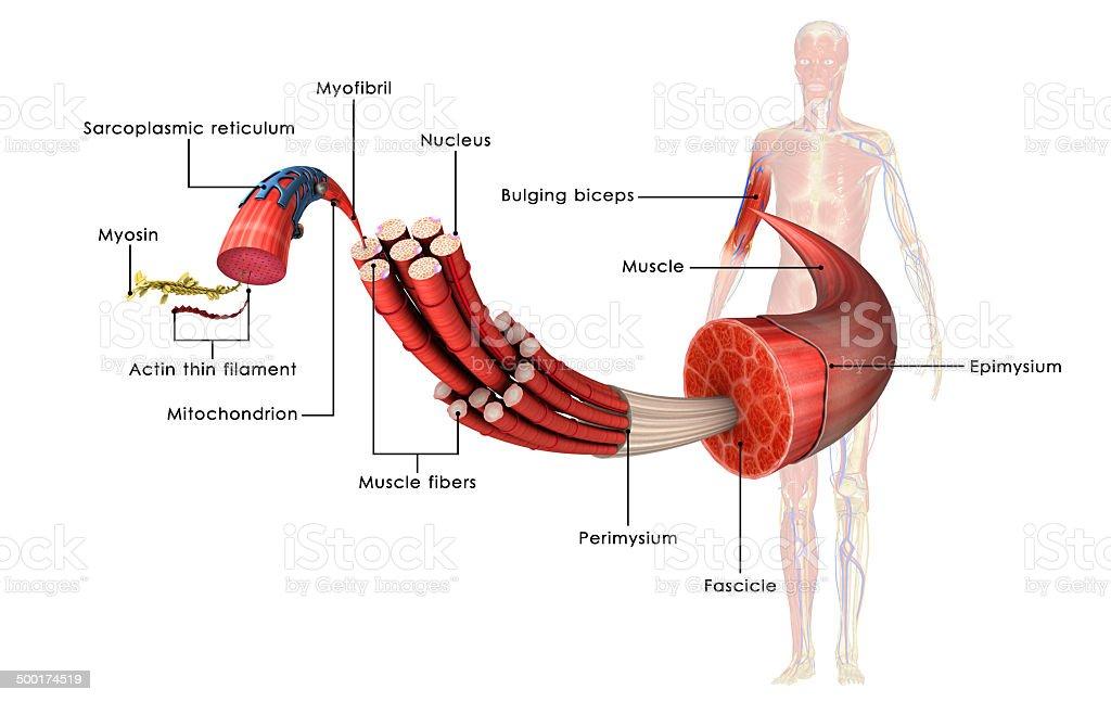 Muskel Stock-Fotografie und mehr Bilder von Anatomie   iStock