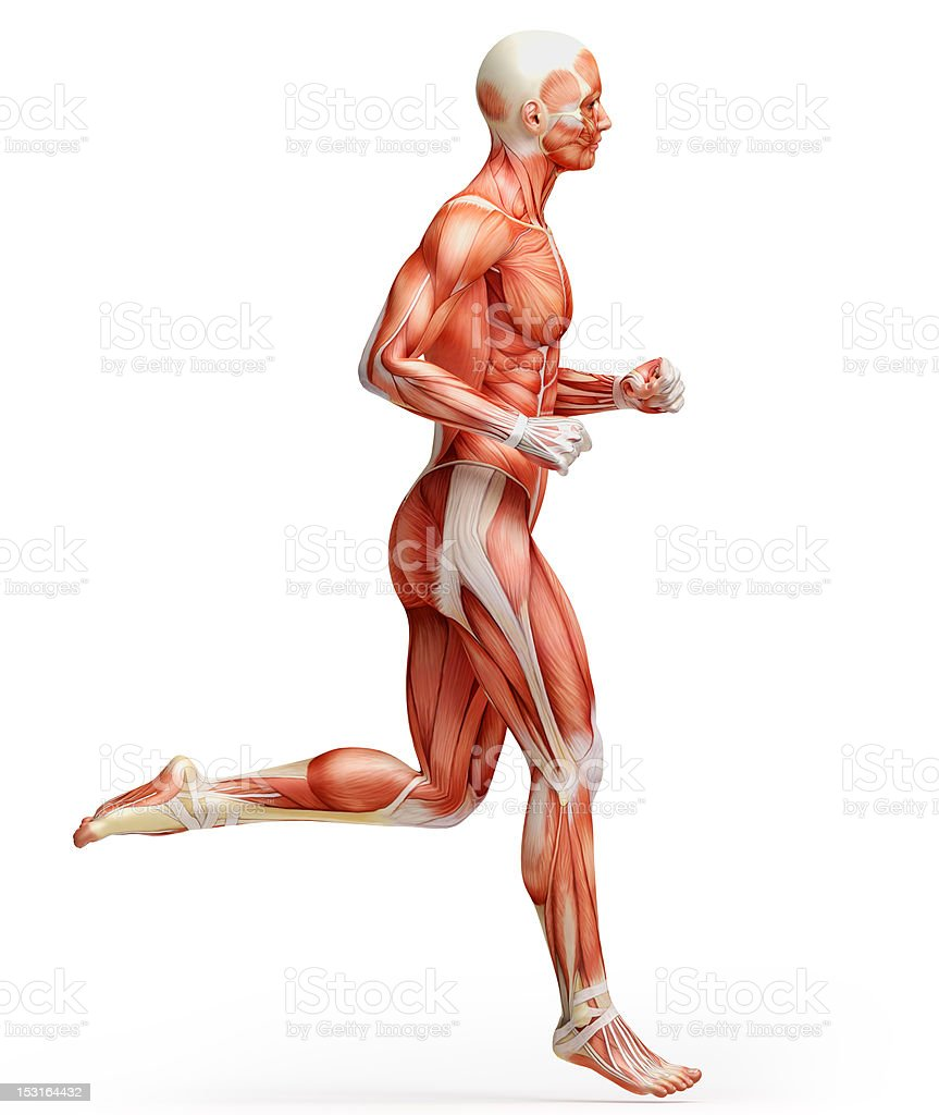 Muscle view of human male running royalty-free stock photo