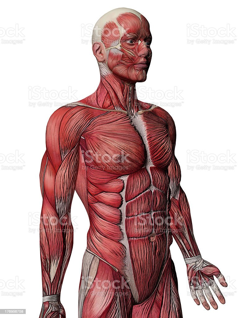 Muscles Anatomy Side View Stock Photo & More Pictures of Abdomen ...