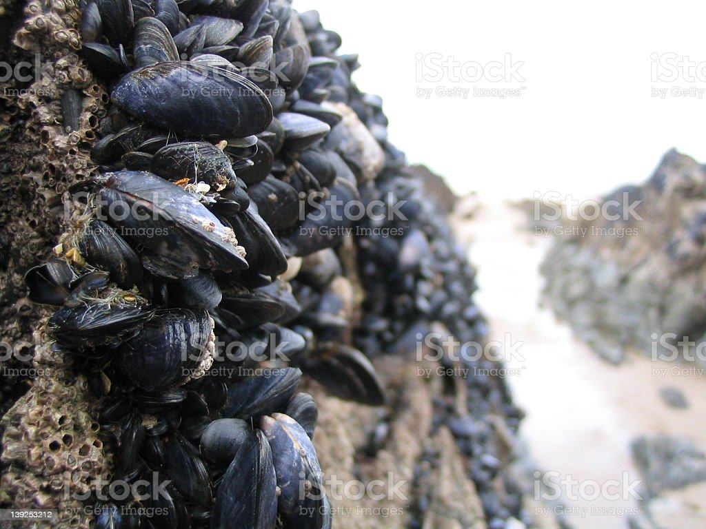 Muscles and Barnacles royalty-free stock photo