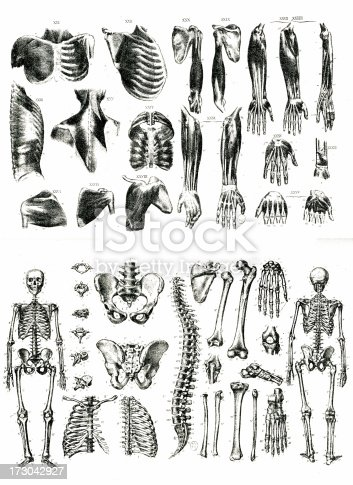 istock Muscles and Bones Litography 173042927