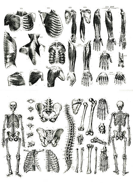 Muscles and Bones Litography stock photo